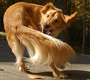 Dog_chasing_tail_small