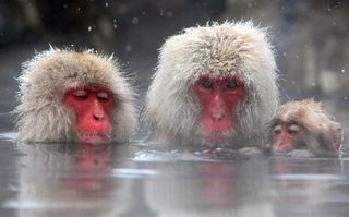 Macaque_bath