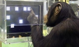Chimpanzee-Research_AP