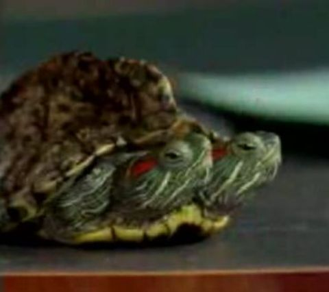 2headed_turtle