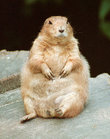 200pxprairie_dog_on_arse_2