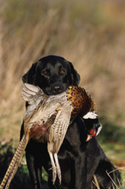 Dog_pheasant_small